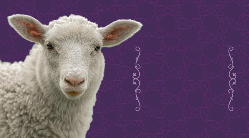 Koyun, sheep, kurban bayramı, eid al adha